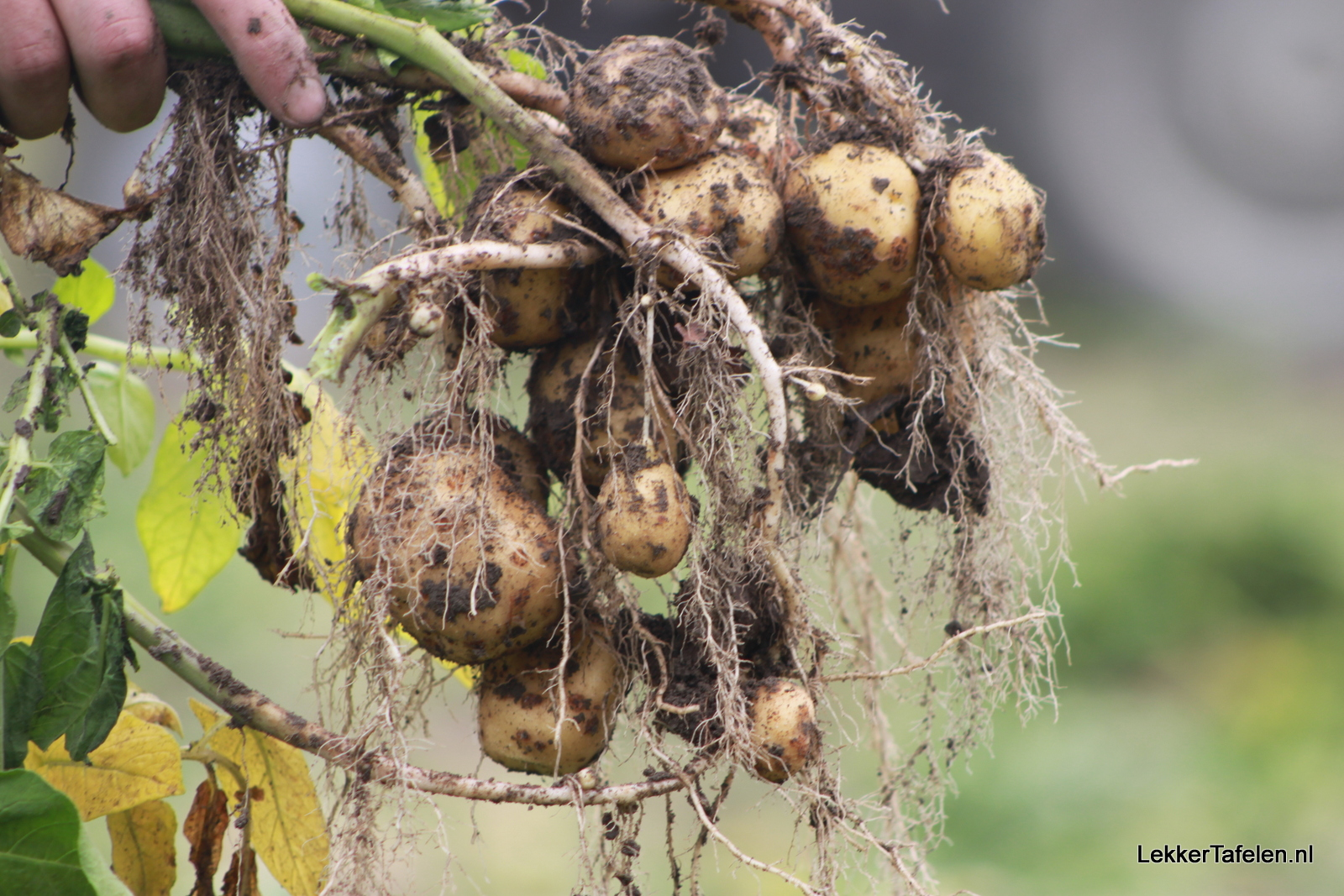 Opperdoezer Ronde - Opperdoes - Noord-Holland - aardappel - aardappels - Beschermde Oorsprongsbenaming 7719