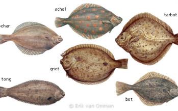 Rondvis en platvis; wat is het verschil