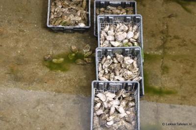 Expeditie Yerseke, op naar de mosselen! - Zeeuwse oesters