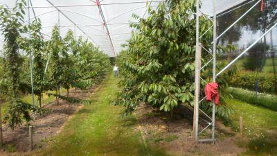 De kersenboomgaard van de familie Van Wijk