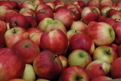 De Elstar is nog altijd de populairste Nederlandse appel