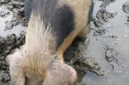 waddenvarkens - bonte bentheimer Uithuizermeenden Groningen