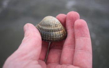 Kokkels; Duurzame delicatesse uit de Waddenzee