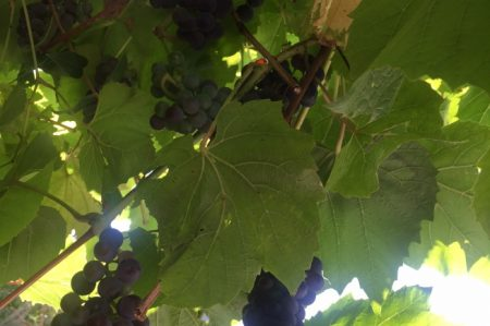 Druivengelei maken