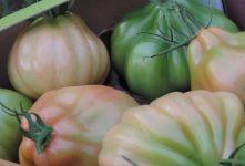 Coeur de Boeuf Tomaten – Een bezoekje bij een trotse teler