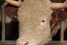 Hereford Rundvlees – De koe met de krullen
