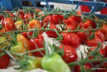Lans Tomaten; Lekker Tafelen op bezoek bij de teler