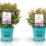 BrazelBerry planten; delicious en beautiful voor tuin, terras of balkon