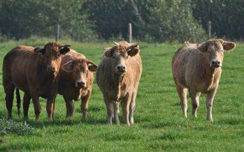 Samen een koe kopen, direct van de boer