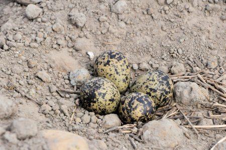 Aardappel bodem tot bord kieviet eieren