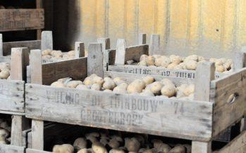 Aardappelteelt; kiemen en aardappels poten