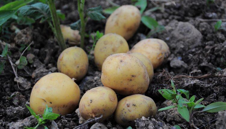 aardappelsoorten