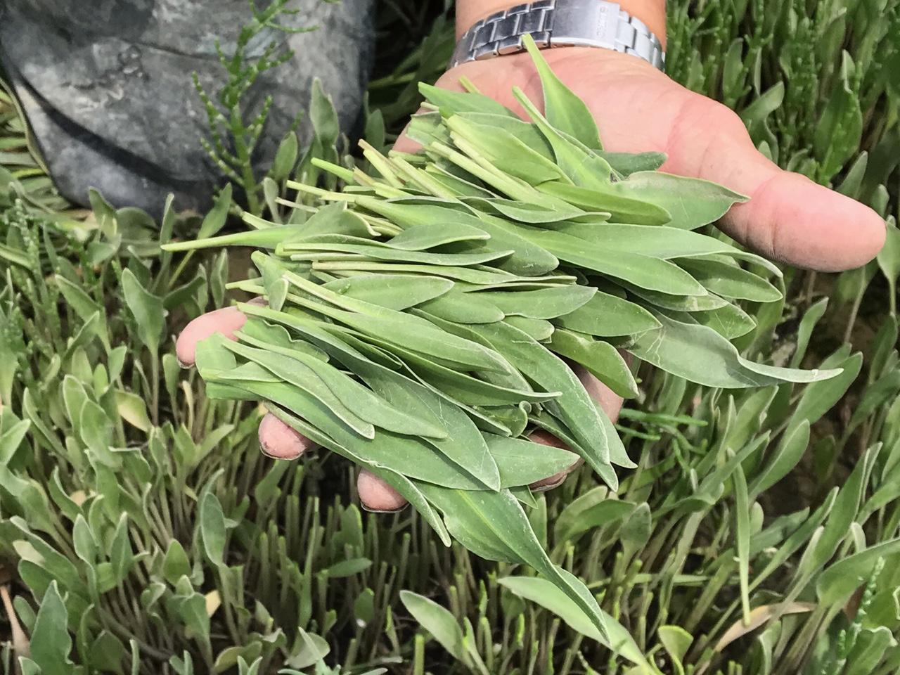 Zeekraal en Lamsoren - Zilte groenten uit de Oosterschelde Zeeland 6671