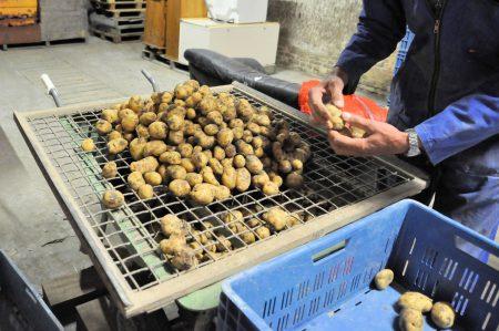Aardappelen zeven op grote