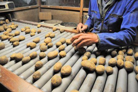 Aardappelteelt de nieuwe oogst automatische sorteerband