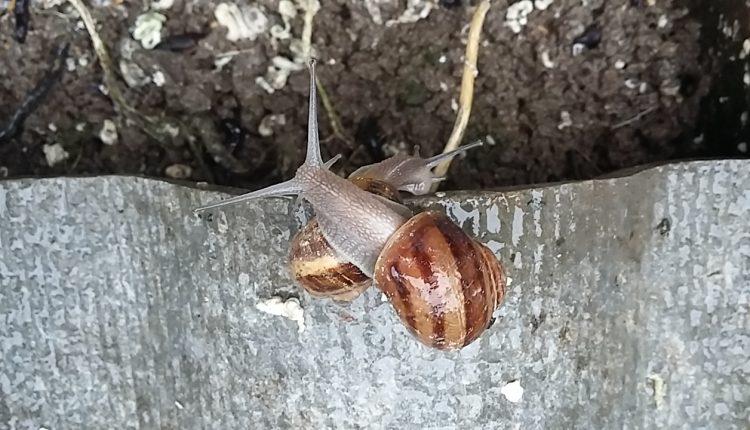 Slakken Wallonië petit-gris