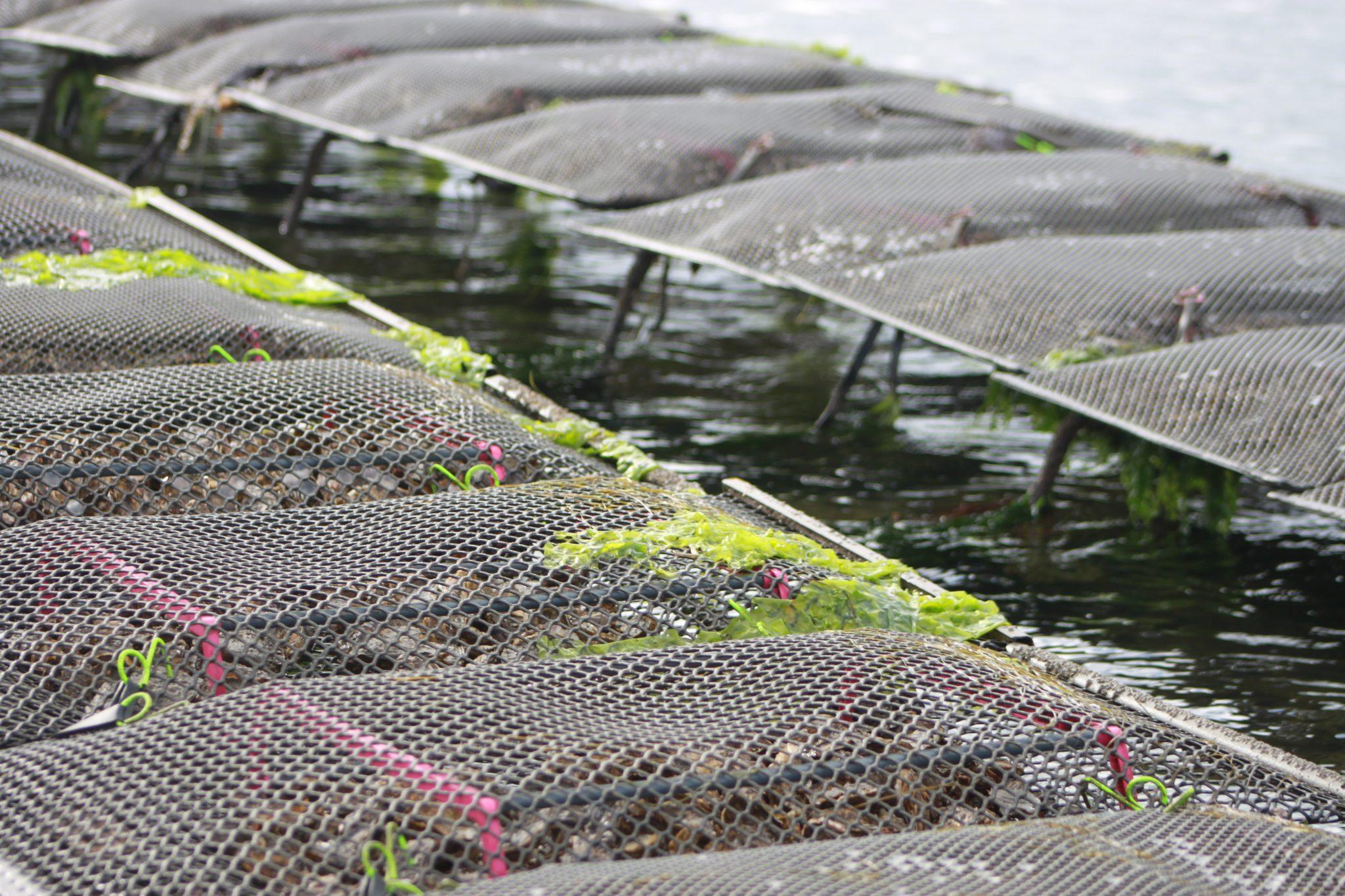 Zeeuwse oesters – Kweken op tafels is ook in Nederland een feit