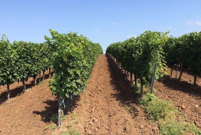 Wijnbouw in de wereld - Er wordt wijn gemaakt van Bordeaux tot Californië, van Canada tot Nieuw-Zeeland, van Chili tot Australië en in nog veel meer landen. Hoe zit die wijnwereld in elkaar? Wijnbouw in de wereld gaan we in les 3 van de online wijncursus bekijken.