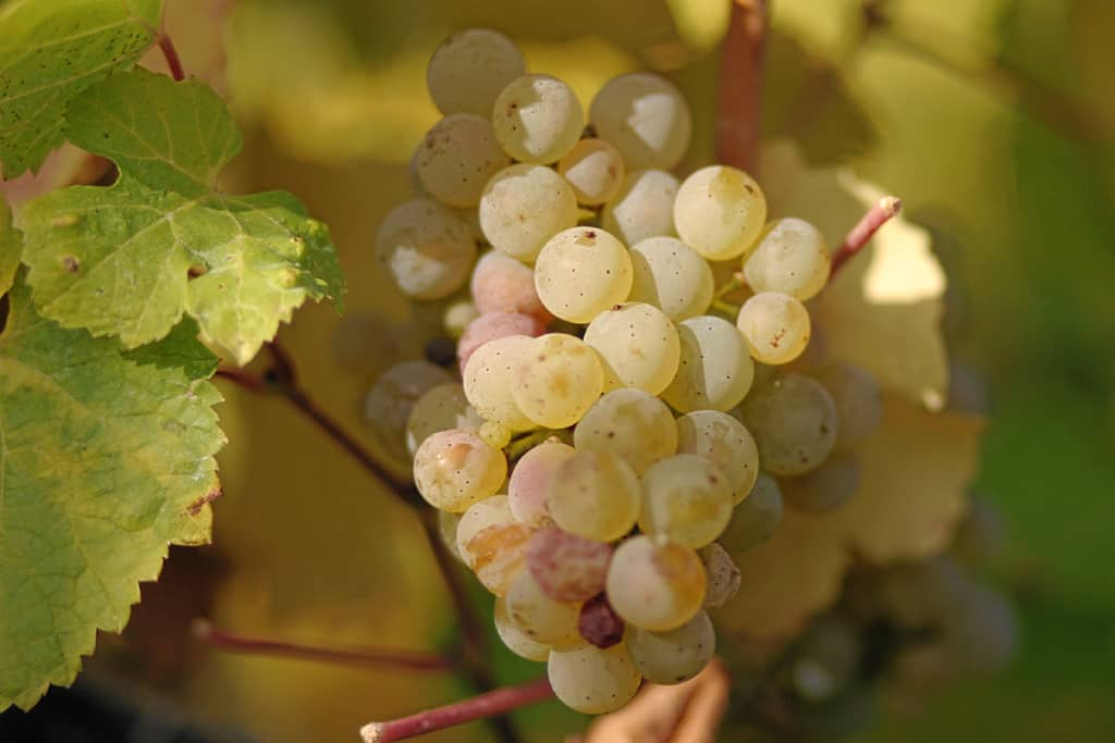 Riesling druiventros